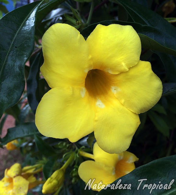 Galer a fotogr fica de flores de plantas ornamentales for Definicion de plantas ornamentales
