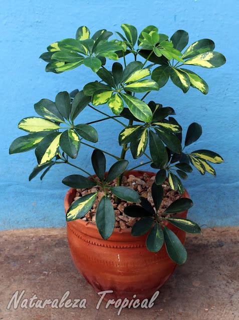 Aprende a cuidar a tu cheflera schefflera arboricola - Como cuidar las hortensias en maceta ...