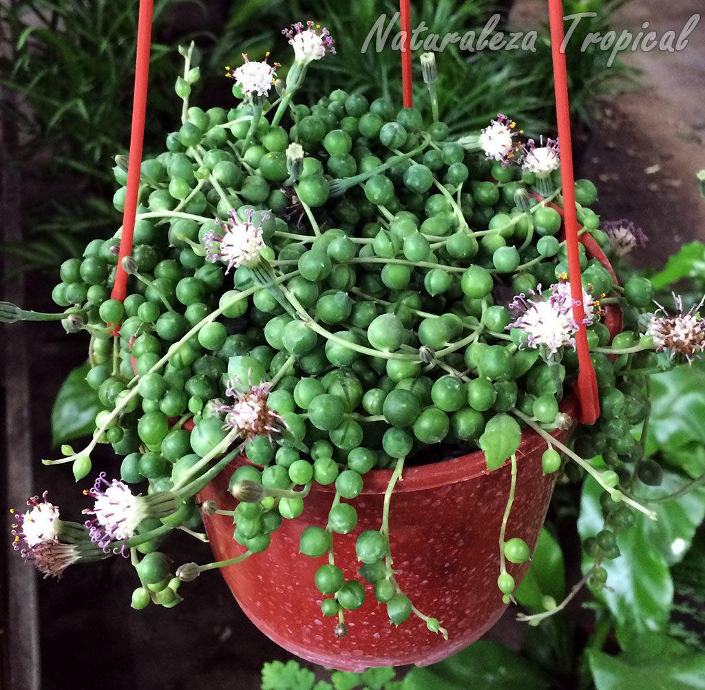 La Popular Suculenta Collar De Perlas O Rosario Senecio Rowleyanus