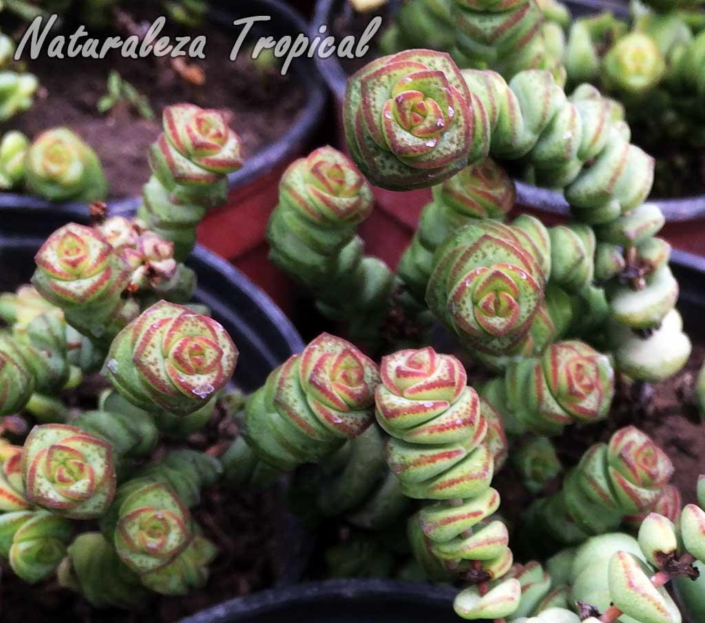 Vista de las hojas de la planta suculenta Crassula `Tom Thumb´ o Crassula `Klein Duimpje´