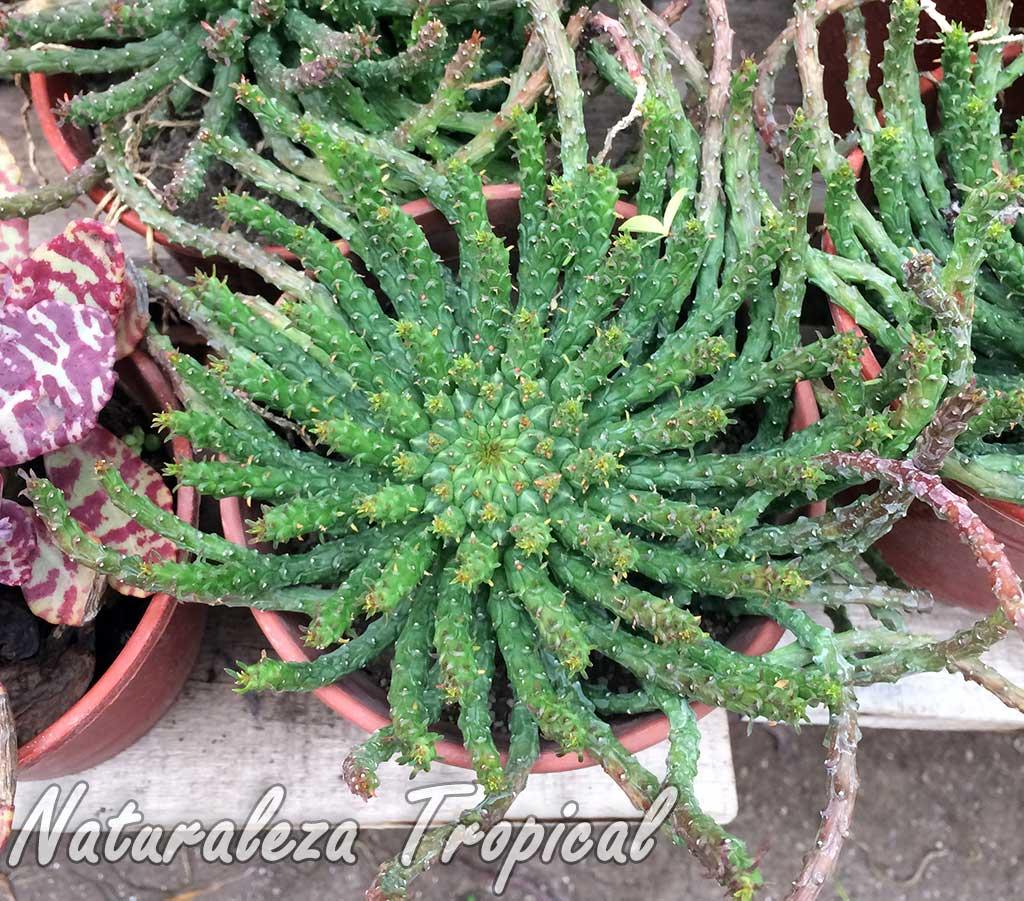 Planta suculenta medusoide del género Euphorbia en maceta