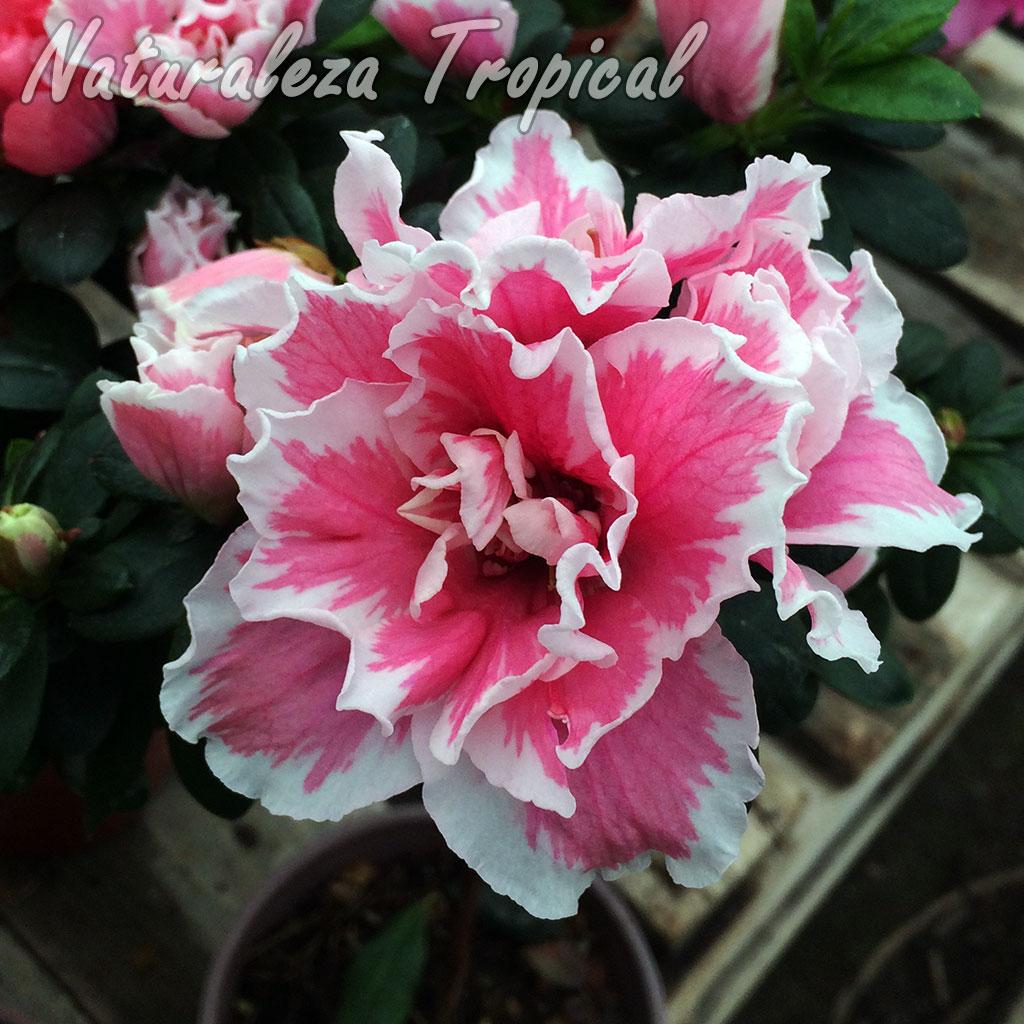 Flor matizada de un cultivar de azalea, género Rhododendron
