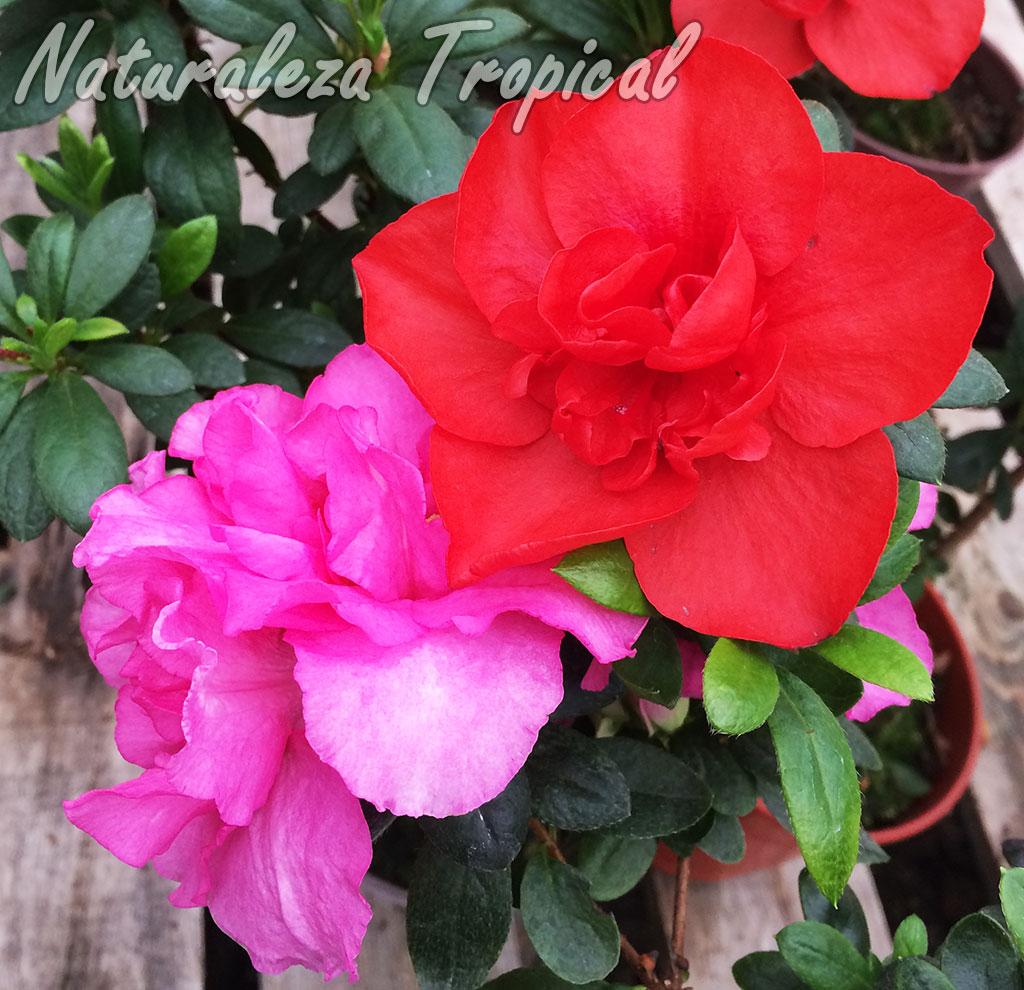 Flores de dos cultivares de azaleas, género Rhododendron