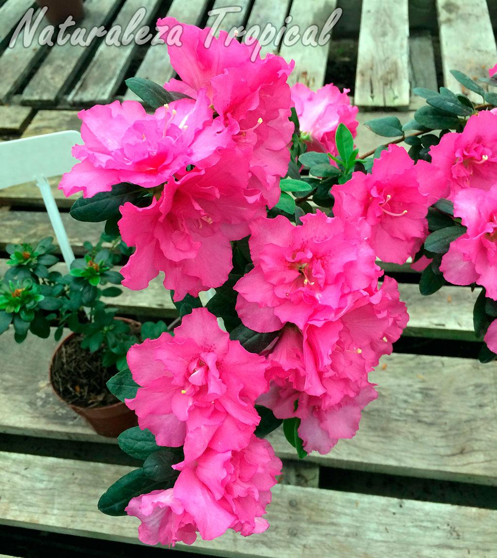 Floración de un cultivar de azalea con flores rosas, género Rhododendron