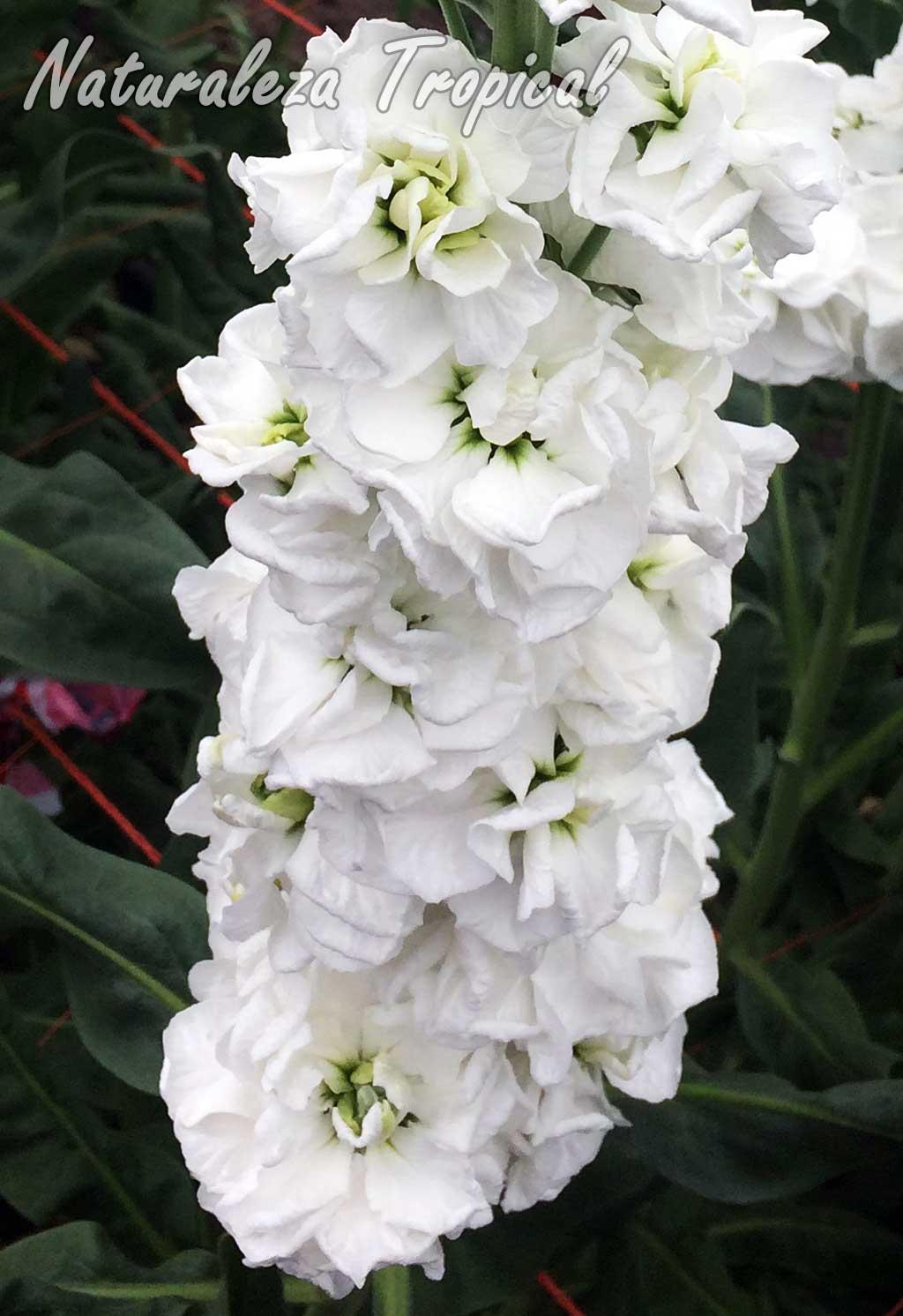 Flores de un cultivar con flores dobles y blancas del Alelí o Alhelí, Matthiola incana