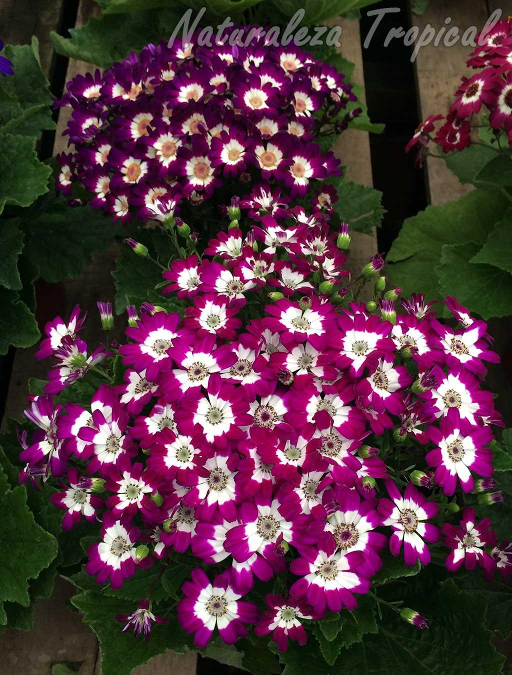 Otros cultivares de la planta Pericallis x hybrida