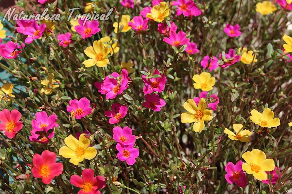 Floración de variedades de la planta suculenta Portulaca umbraticola
