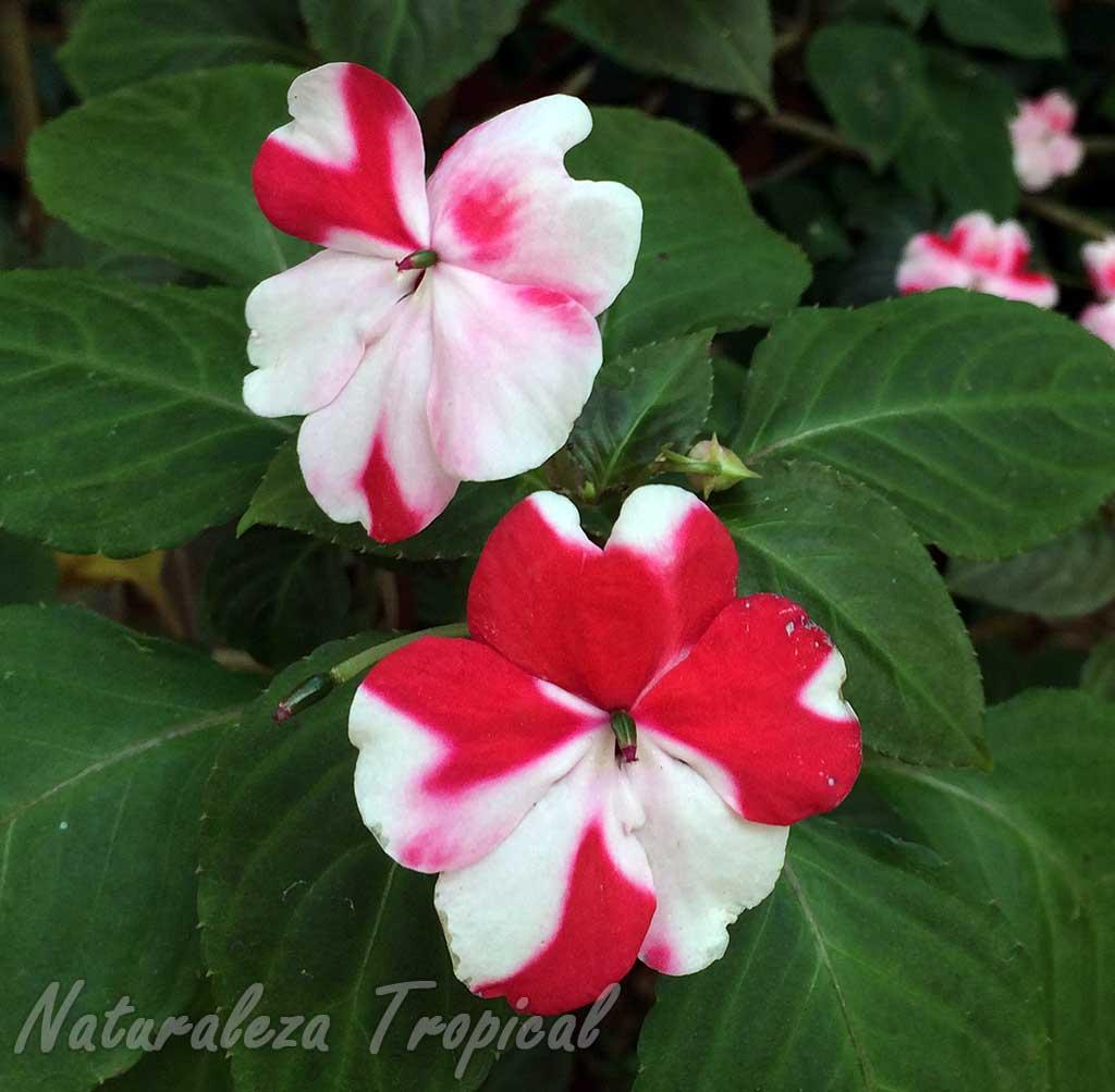 Flores de una Alegría del Hogar, Madama o Balsamina. Cultivar de Impatiens walleriana