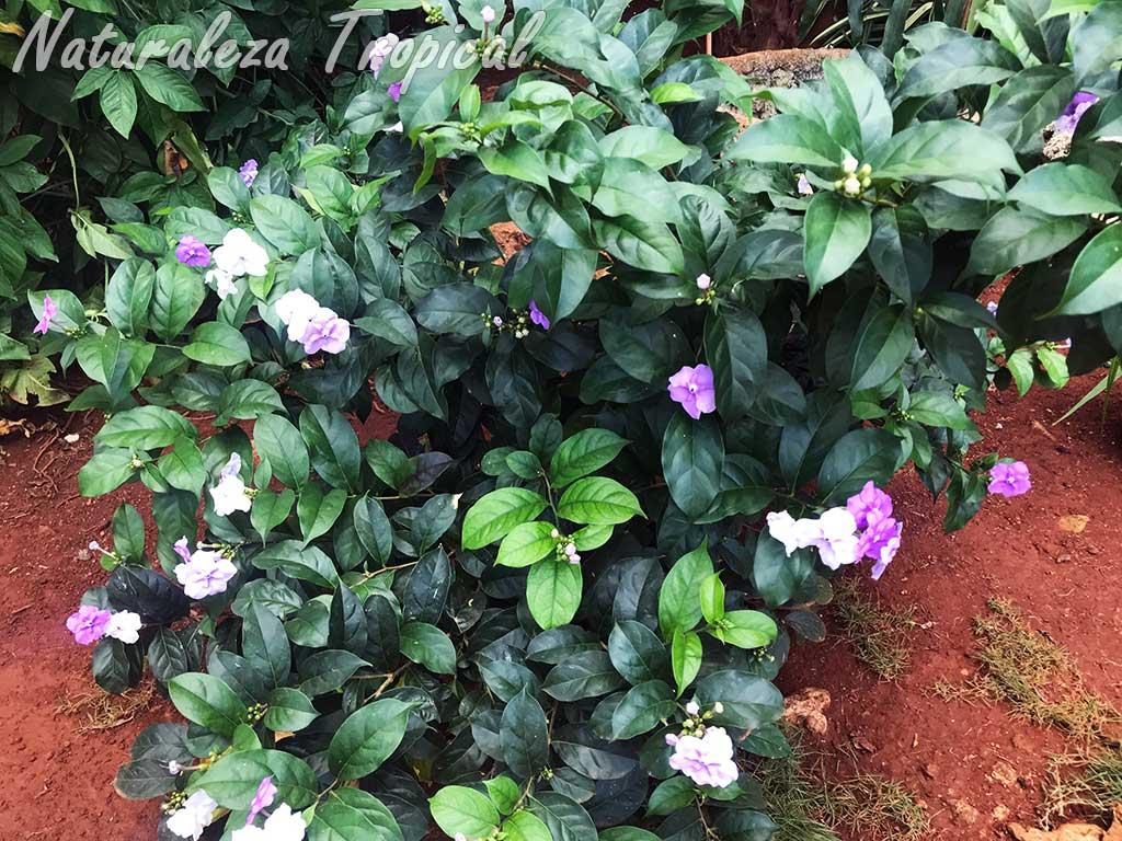 Vista del arbusto del Jazmín de Paraguay, Brunfelsia pauciflora