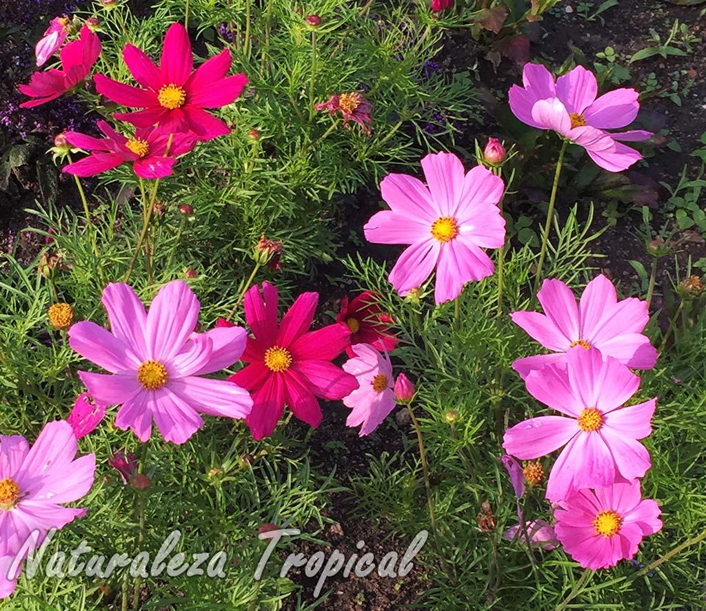 Vista de las inflorescencias de la planta Cosmos o Mirasol, Cosmos bipinnatus.