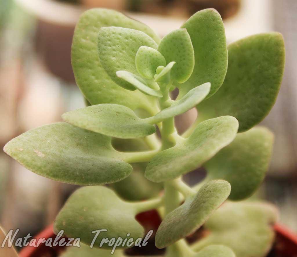 Vista lateral de la planta suculenta Hojas de Corazón, Crassula cordata