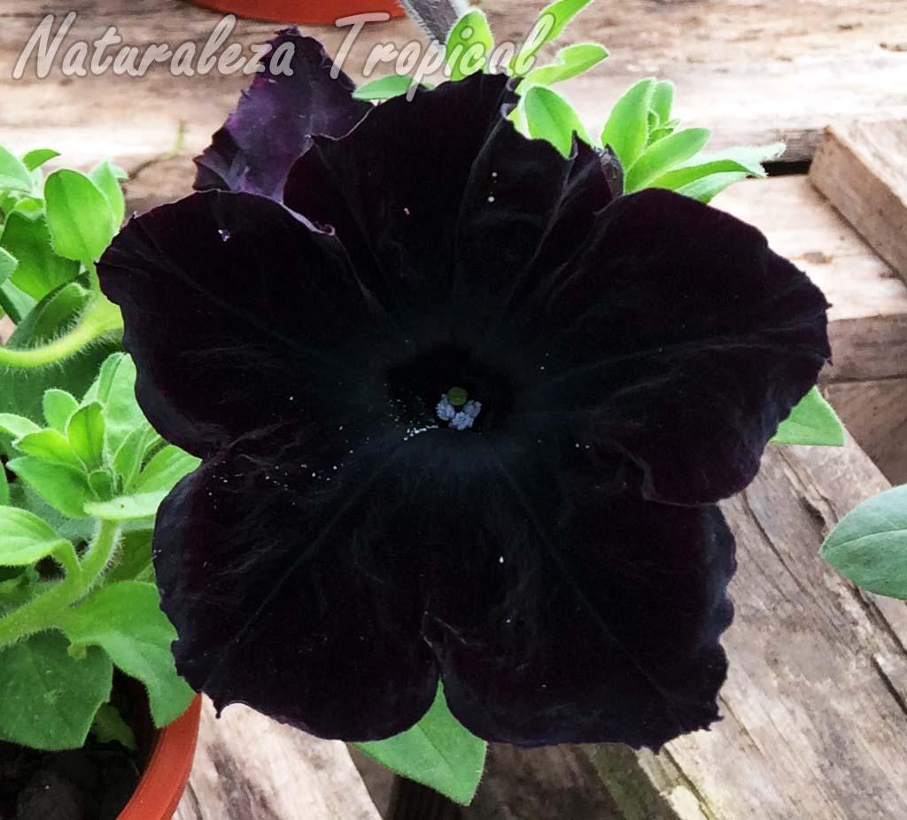 Flor casi negra de un híbrido comercial del género Petunia