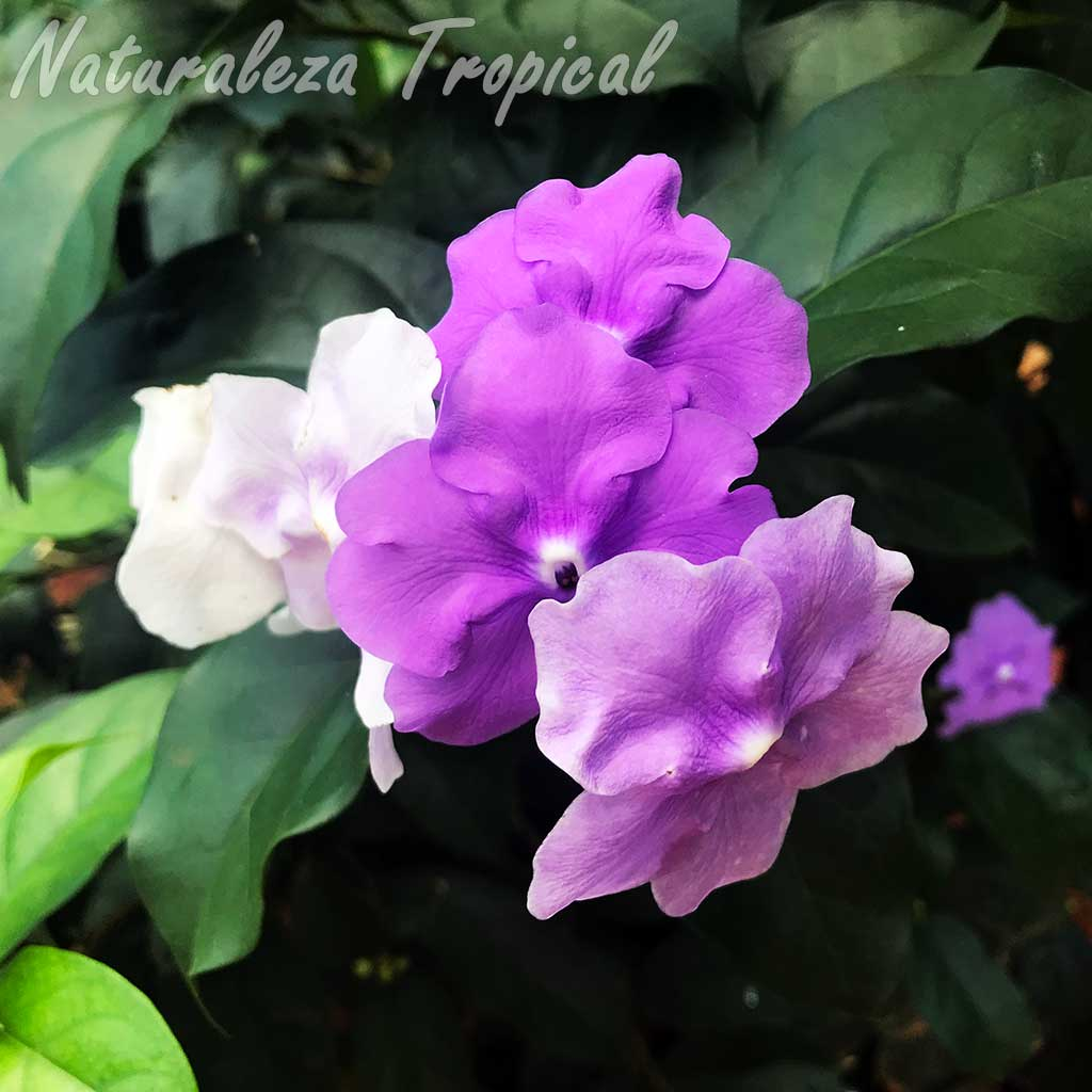 Flores típicas del Jazmín de Paraguay, Brunfelsia pauciflora