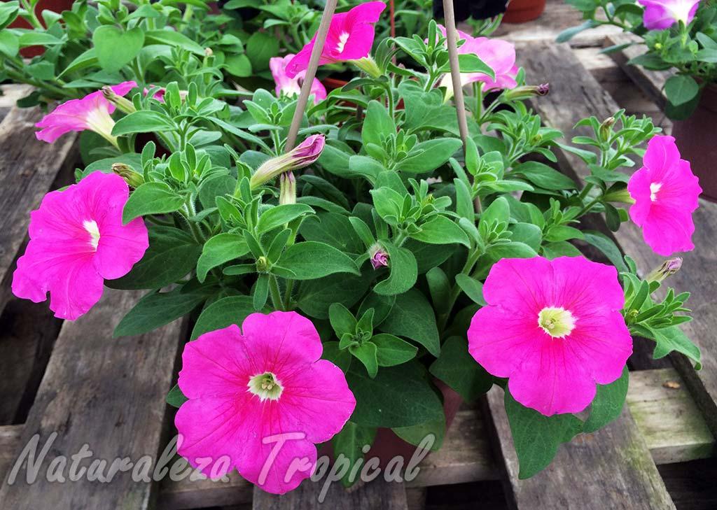 Flores de un híbrido comercial del género Petunia