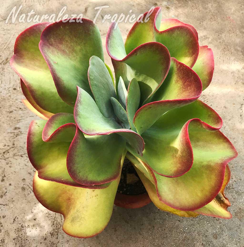 Kalanchoe luciae es una planta suculenta monocárpica que muere luego de florecer a los 4-6 años de vida. Monocarpismo