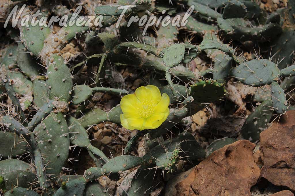 Tallos y flor de la Tuna, Nopal o Chumbera llamada Opuntia triacantha u Opuntia militaris