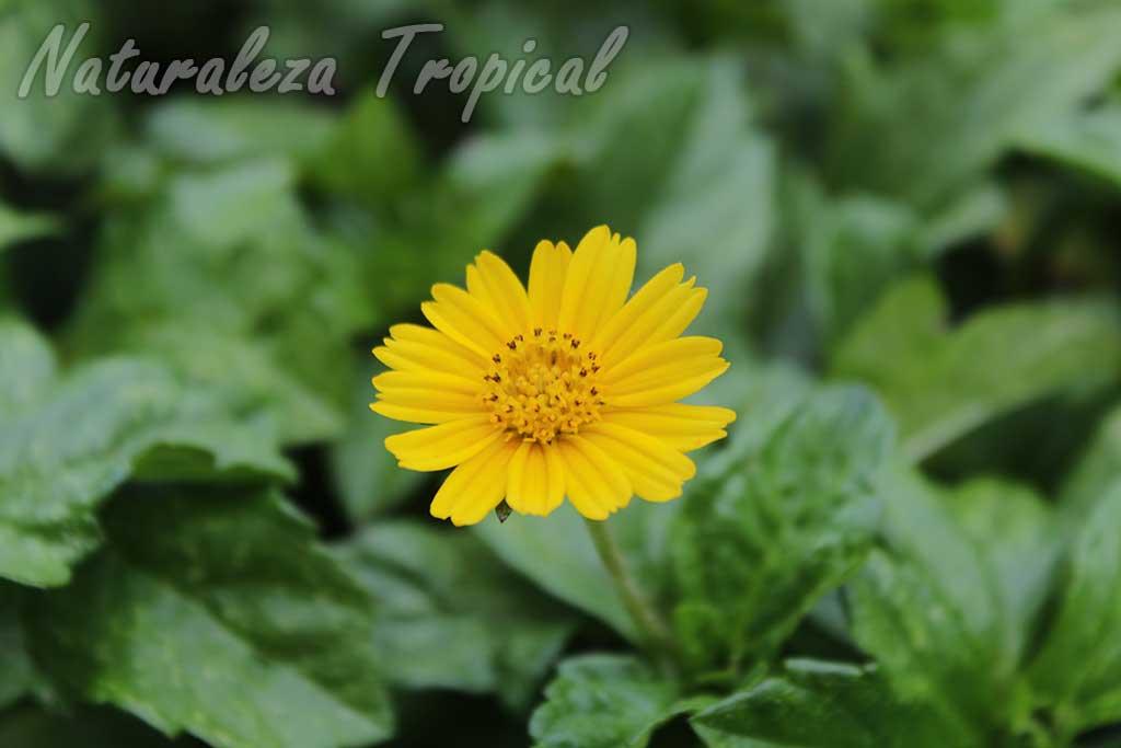 Flor típica de las plantas ornamentales del género Sphagneticola