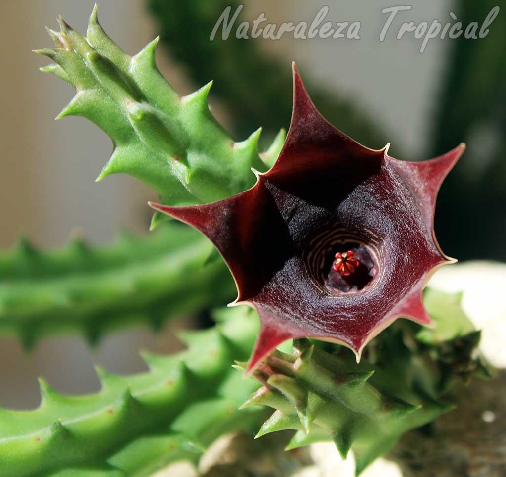Flor y tallo de la planta suculenta híbrida Huernia schneideriana x Stapelia gigantea