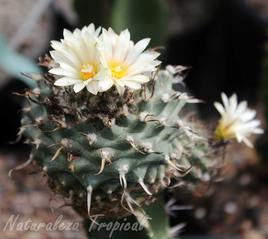 Vista de un ejemplar de cactus del género Turbinicarpus en floración