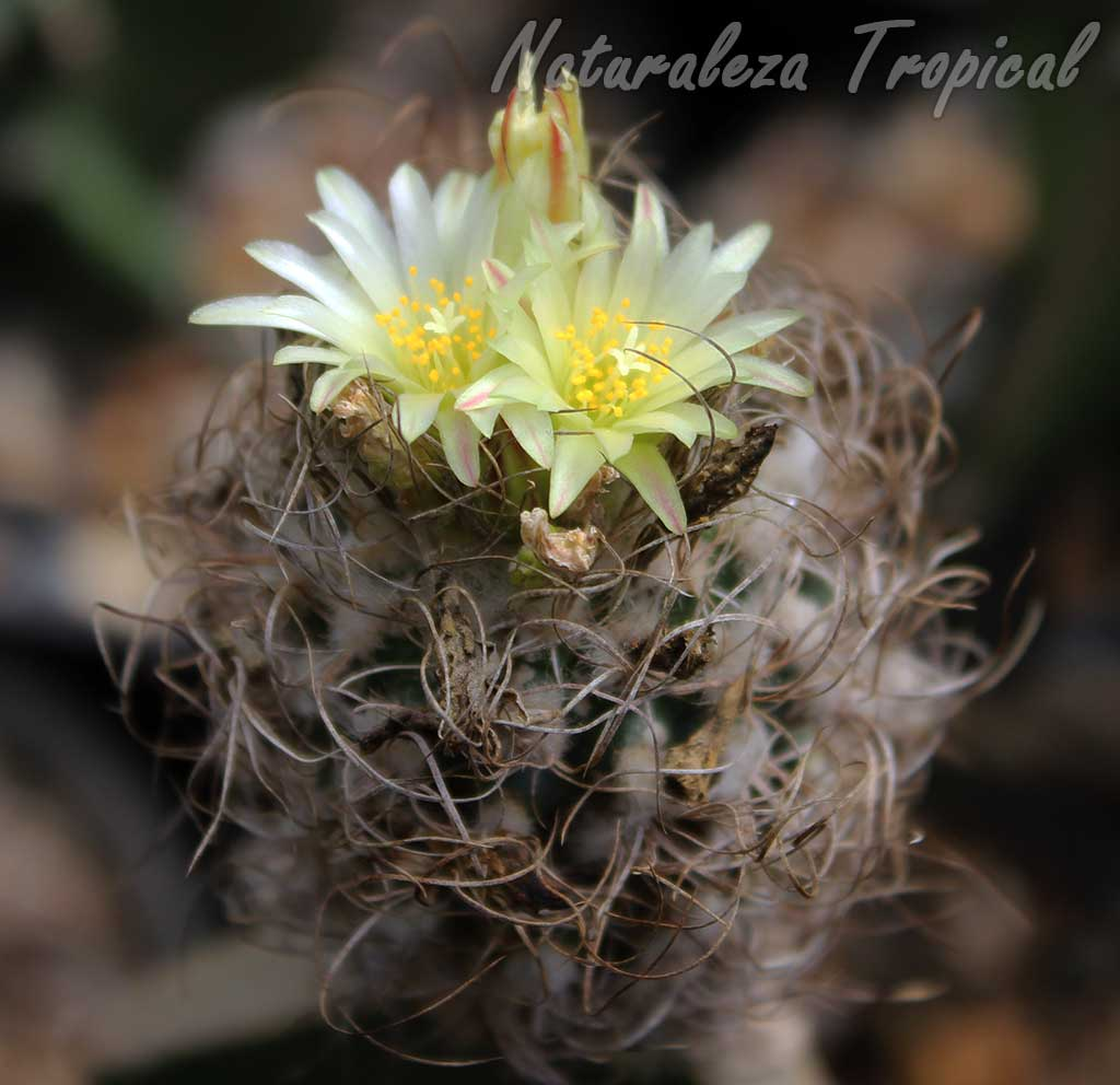 Otro ejemplar de cactus del género Turbinicarpus en floración