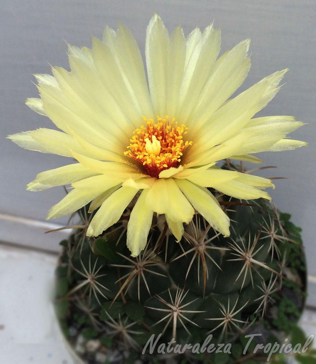 Vista de la floración de una especie de cactus del género Coryphantha