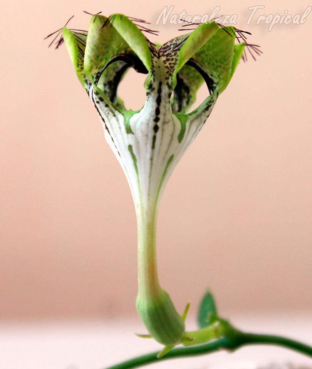 Flor típica de la Flor Sombrilla o Planta Paracaídas, planta suculenta Ceropegia sandersonii