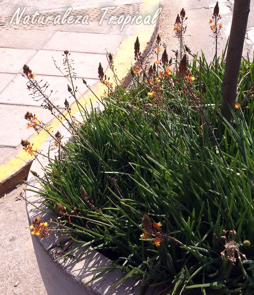 Cultivo en una vía pública de una especie del género Bulbine
