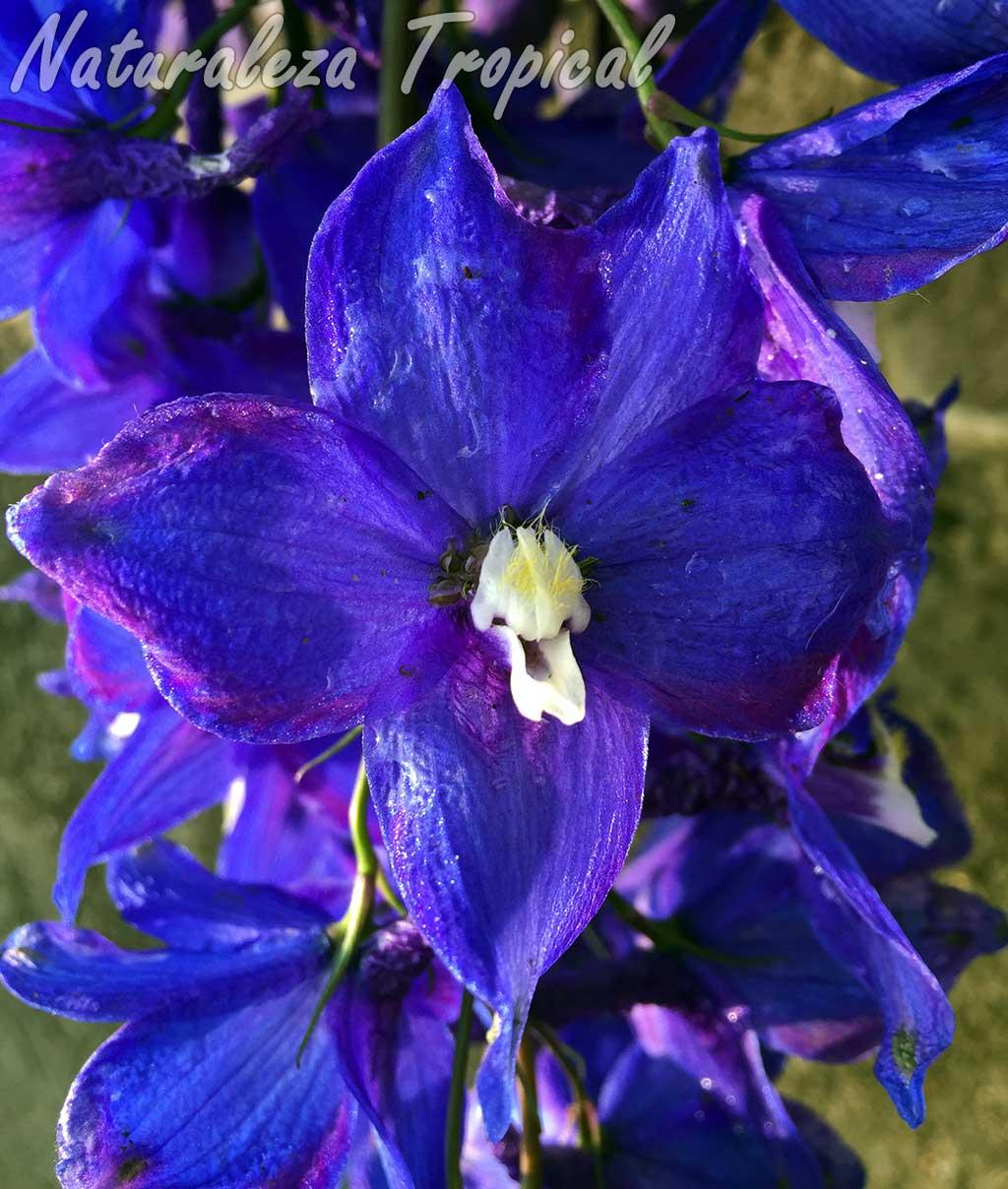 Flor de una Espuela de Caballero con sépalos de color morado oscuro, Delphinium sp