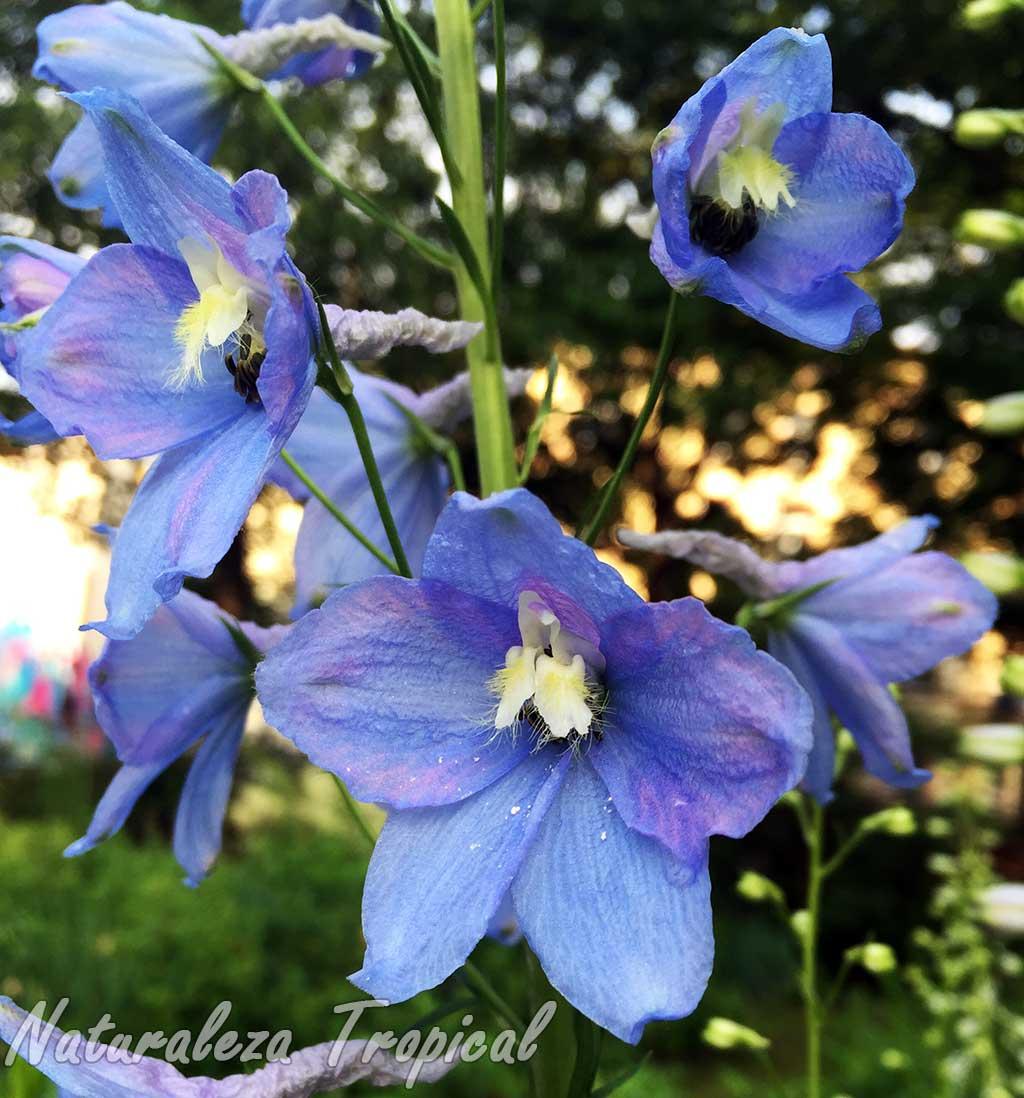 Flores de una Espuela de Caballero con sépalos de color azulado, Delphinium sp