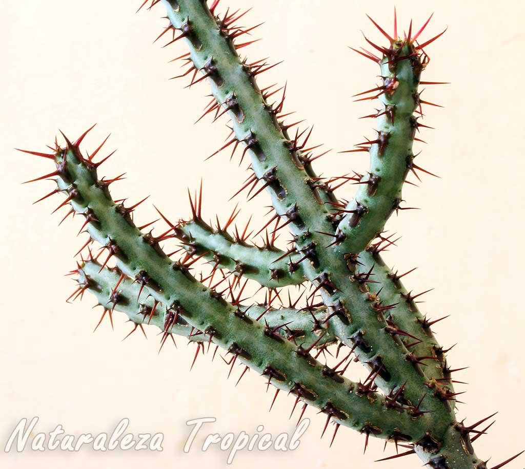 Detalles de los tallos de la planta suculenta Euphorbia aeruginosa