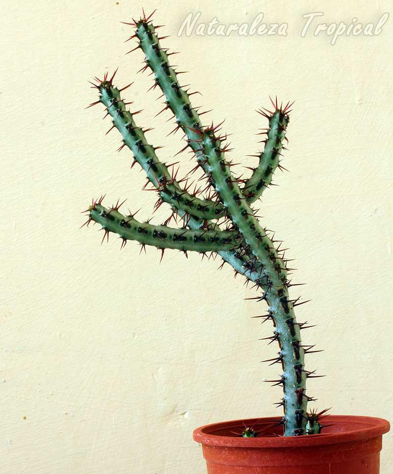 Vista de la planta suculenta Euphorbia aeruginosa