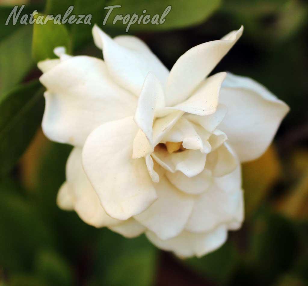 Flor doble de una especie del género Gardenia