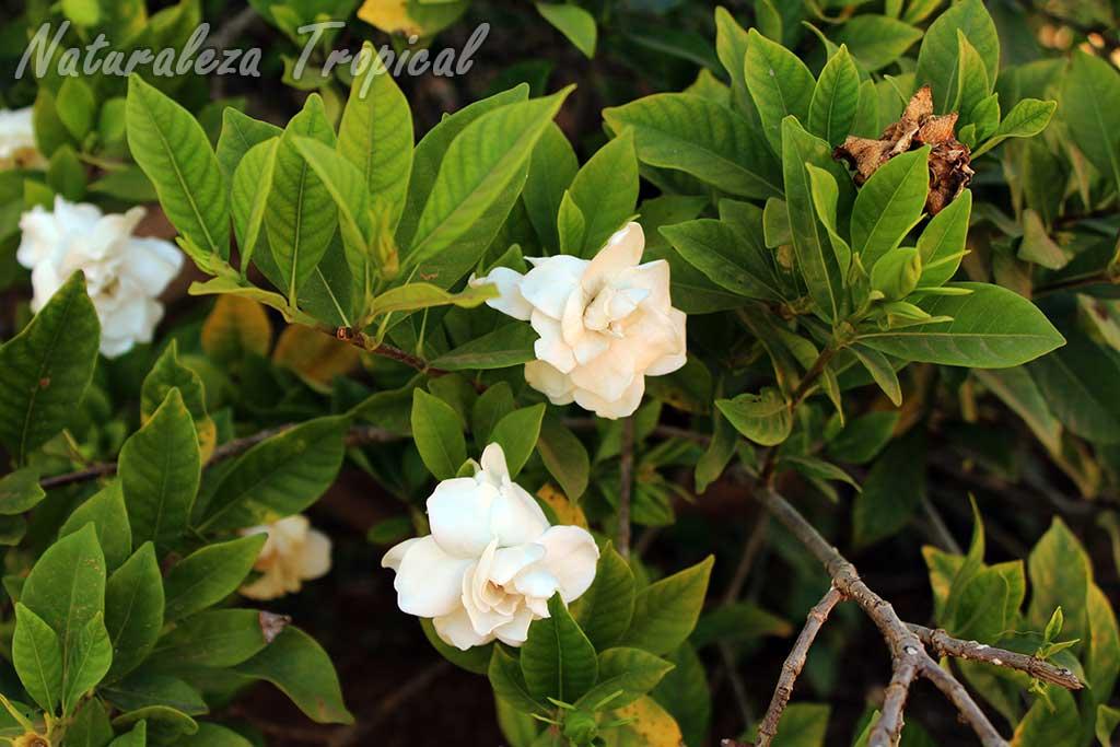 Flores y hojas de una especie del género Gardenia