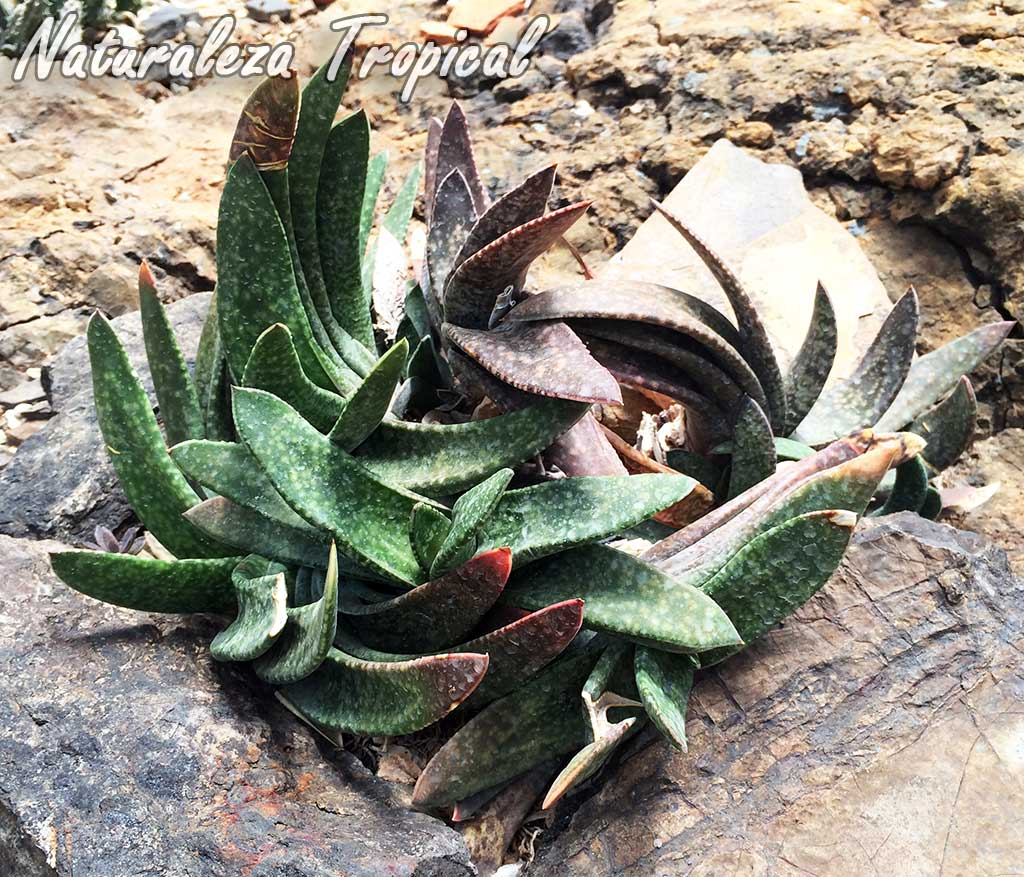 Conjunto de plantas de una especie del género Gasteria