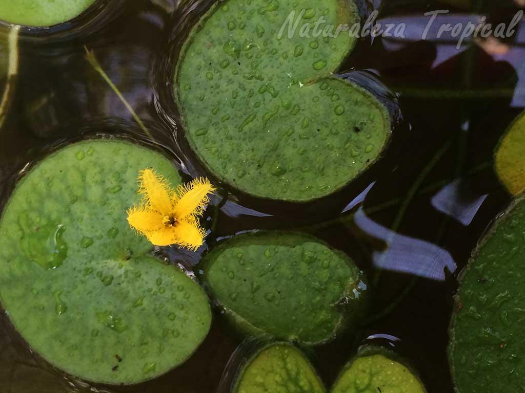 Flor y hojas de una Genciana acuática, Nymphoides sp