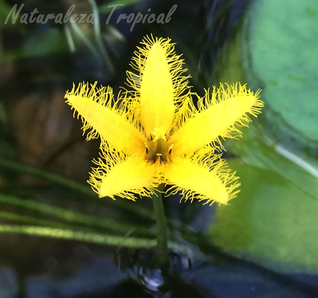 Vista de una flor de una Genciana acuática, Nymphoides sp