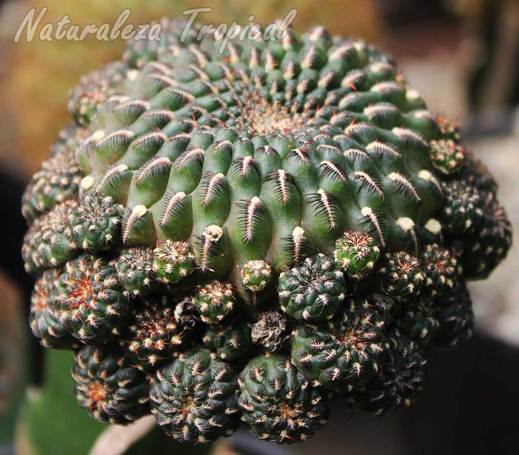 Tallo e hijuelos de una especie de cactus del género Rebutia. Observar forma característica de las areolas