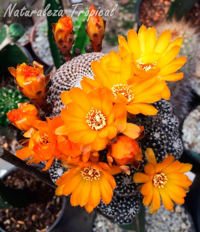 Floración de un hermoso cactus del género Rebutia