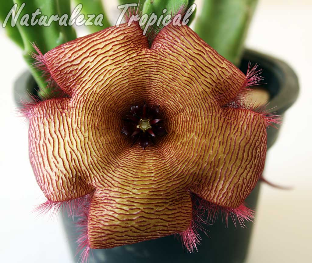 Detalles de la flor de la planta suculenta Stapelia x hybrida