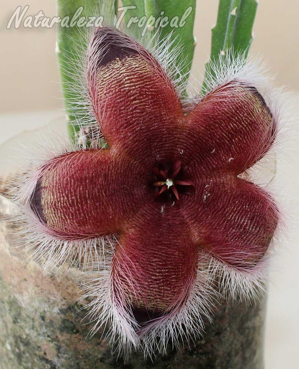 Otra foto de la hermosa flor de la planta suculenta Stapelia grandiflora var. ambigua
