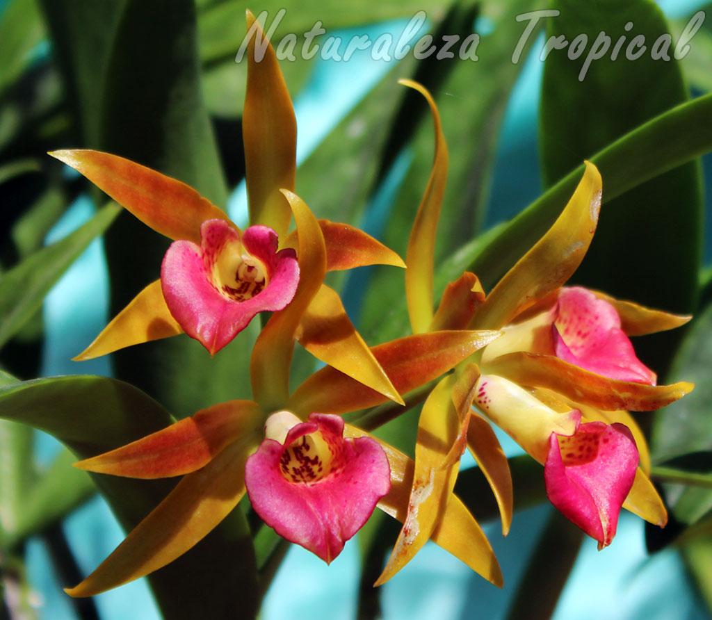 Flores de un genotipo de la orquídea Brassocattleya `Roman Holiday´