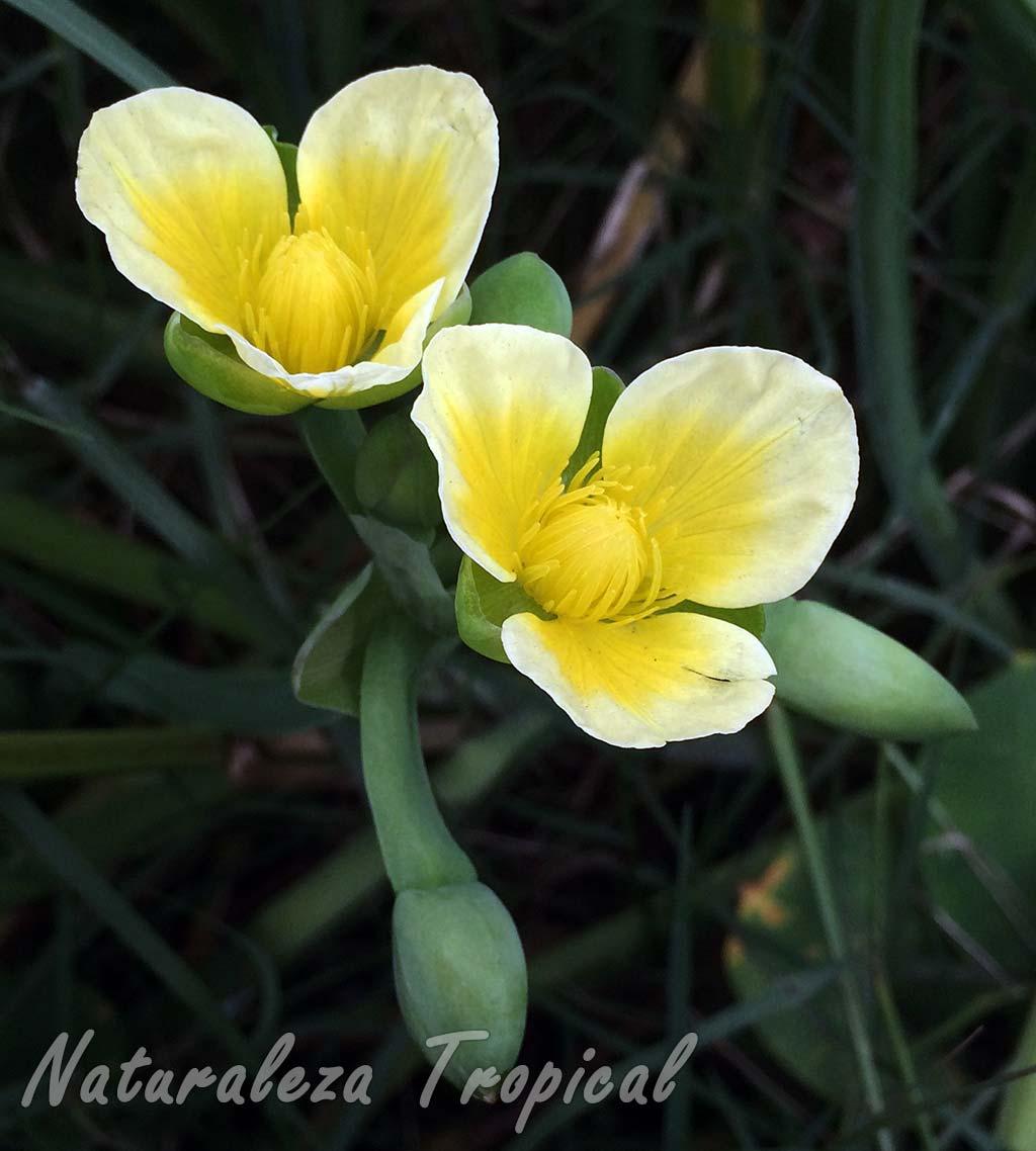 Flores de la planta acuática Limnocharis flava