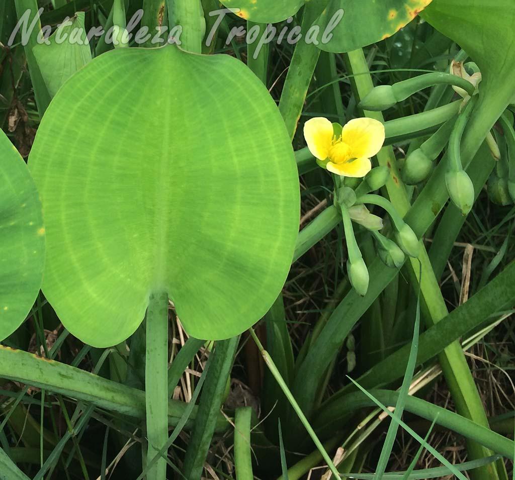 Hoja y flor de la planta acuática Limnocharis flava