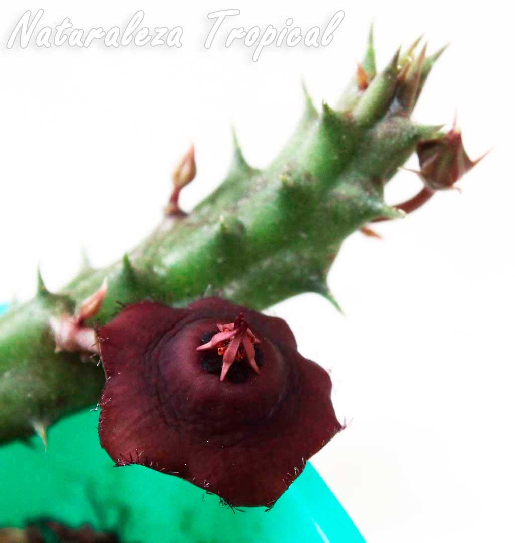 Otra imagen de la flor de la planta suculenta Orbea prognata (sin. Ballyanthus prognathus)