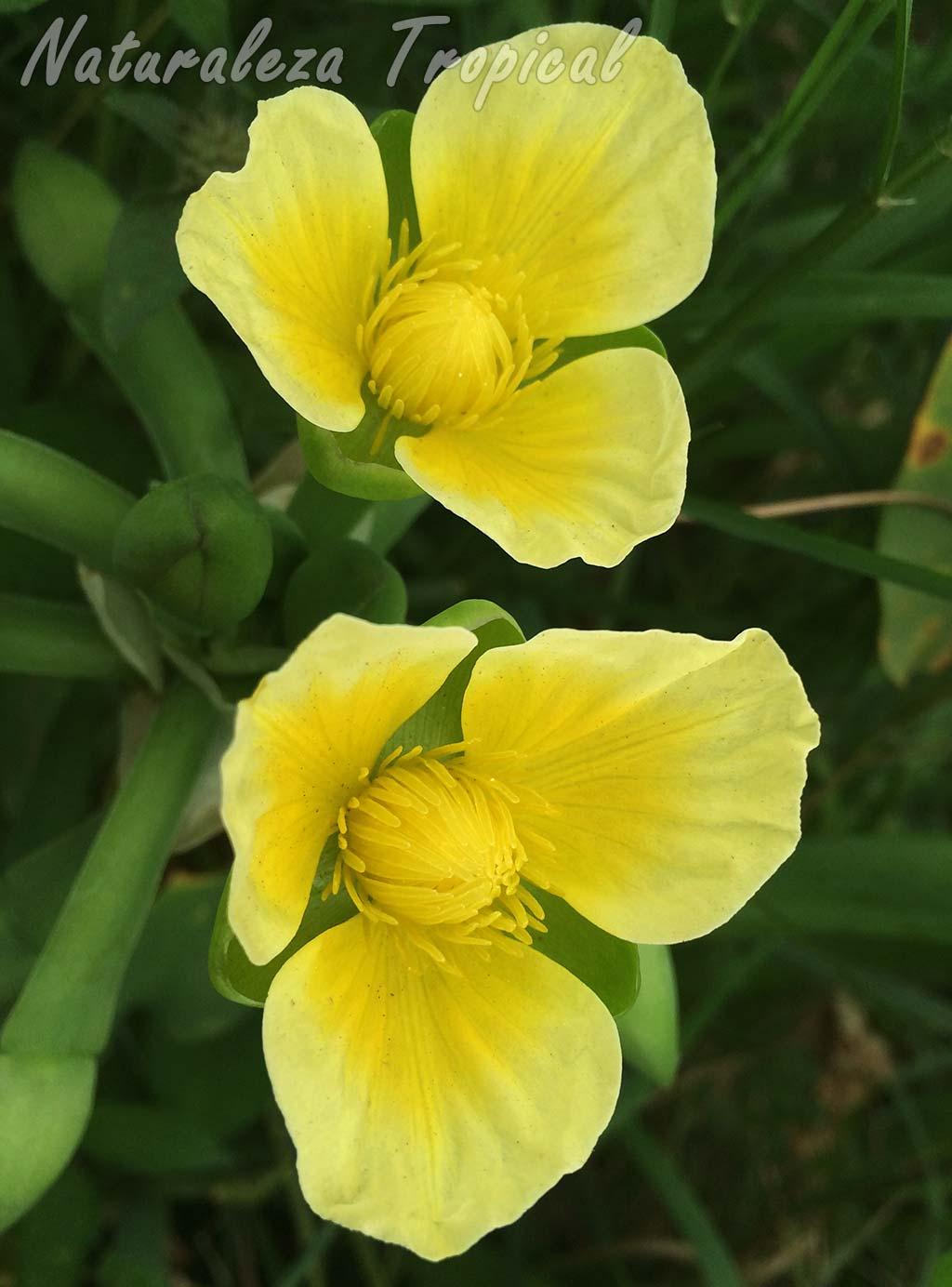 Otra fotografía de las flores de la planta acuática Limnocharis flava