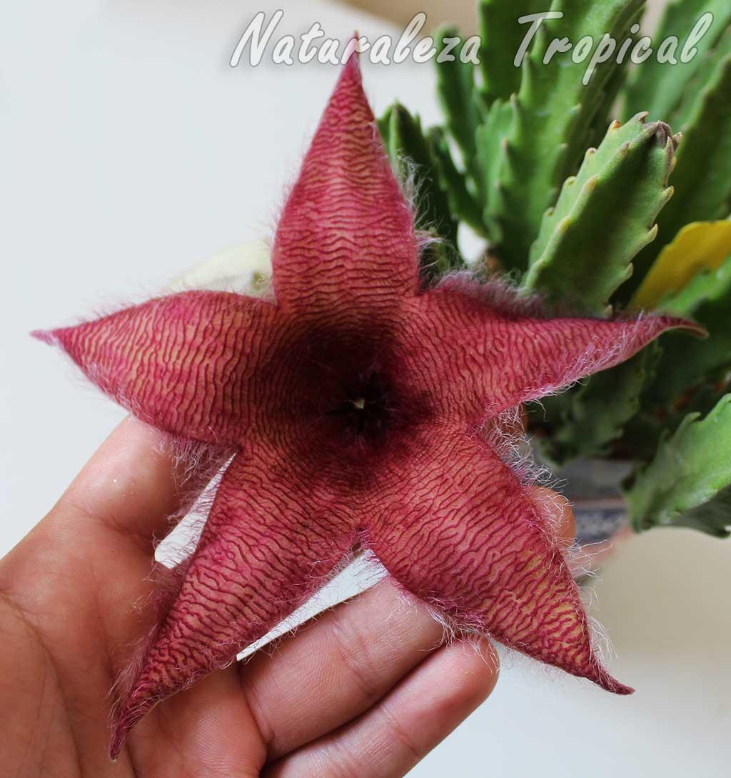 Flor del posible híbrido ornamental de la planta suculenta Stapelia grandiflora