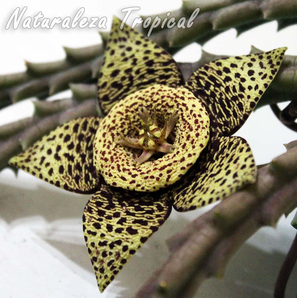 Otra imagen de la flor de la popular planta suculenta conocida como Flor de Lagarto o Atigrada, Orbea variegata
