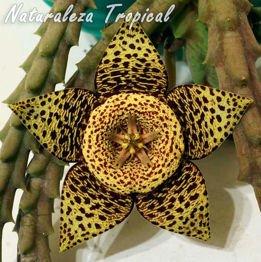 Flor de la popular planta suculenta conocida como Flor de Lagarto o Atigrada, Orbea variegata