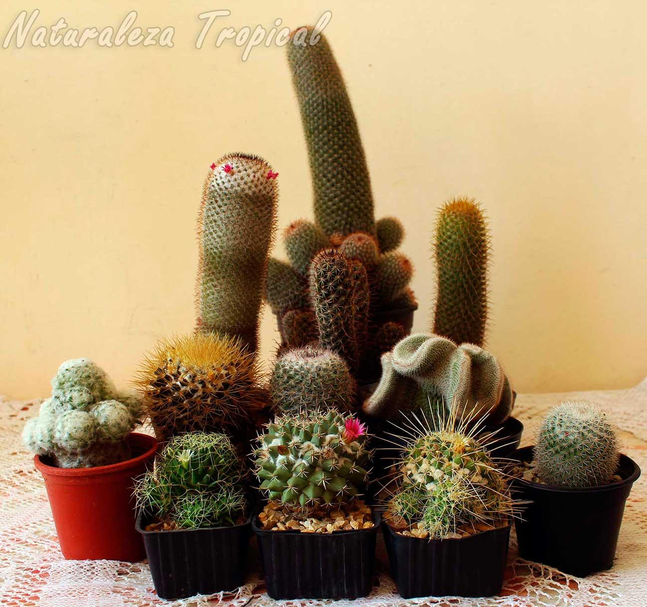 Grupo de cactus del género Mammillaria donde se observa la variabilidad