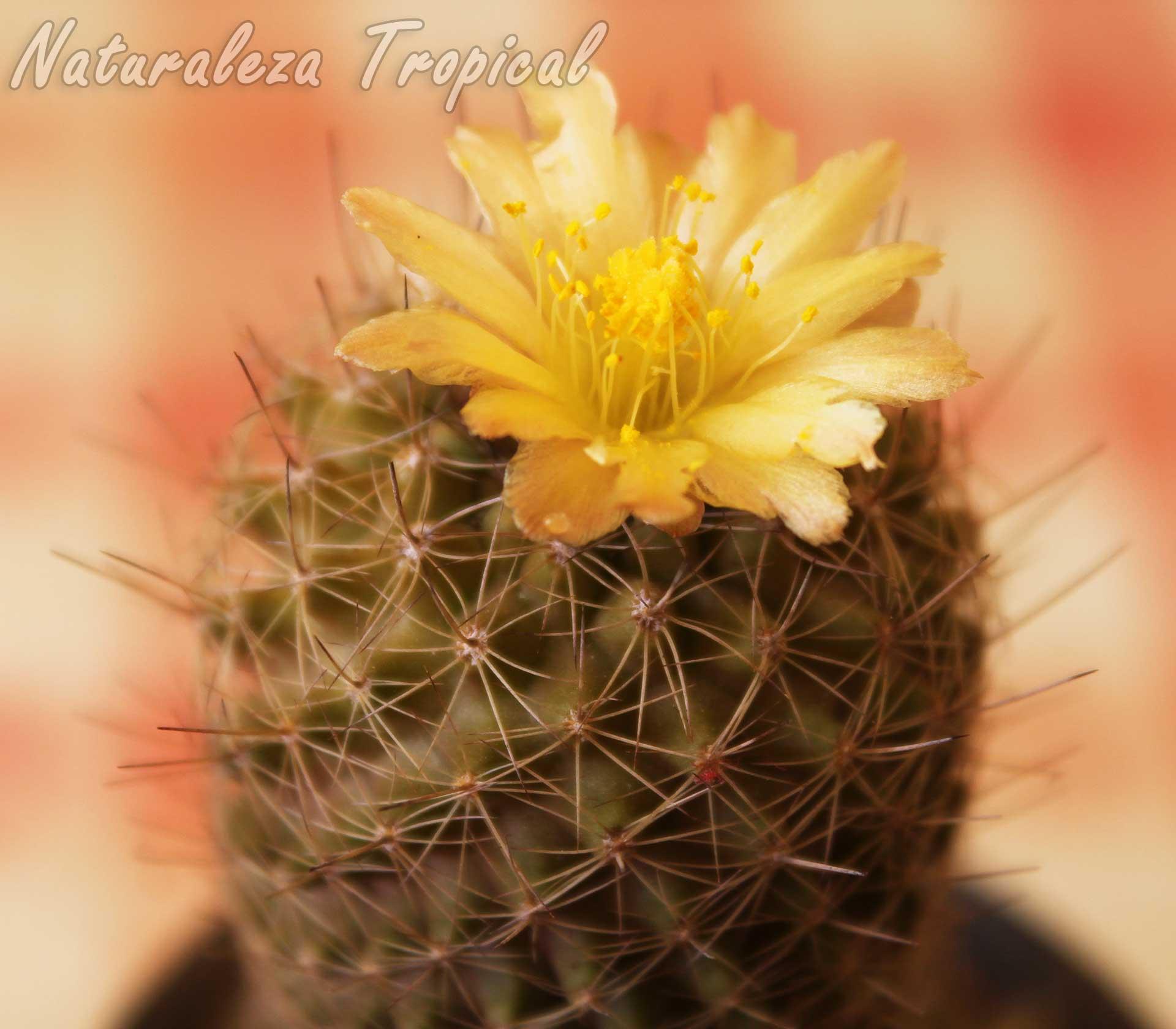 Detalles de la flor del cactus Copiapoa humilis spp. tocopillana